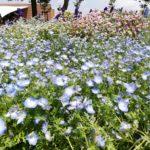 【浜名湖ガーデンパーク】の写真。ネモフィラもきれいに咲いてました